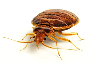 bed bugs control victoria
