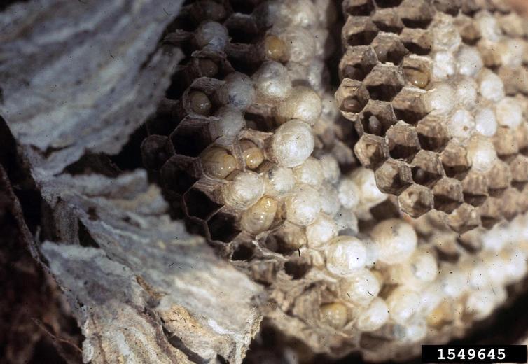 Yellowjacket Wasp Nest, bugwood.org