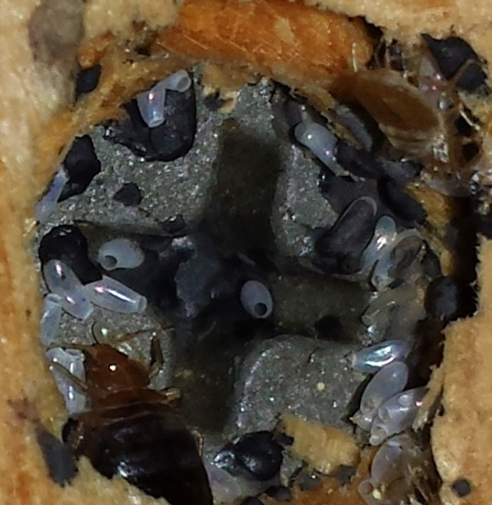 Bed bugs and larvae