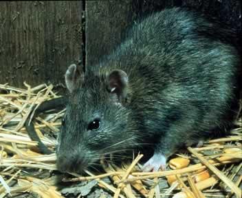 Black Rat